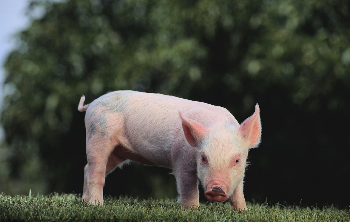 """[西盟县]扶贫猪""""飞""""起来了——探访正兴镇丰顺养殖专业合作社的""""带富秘诀"""""""